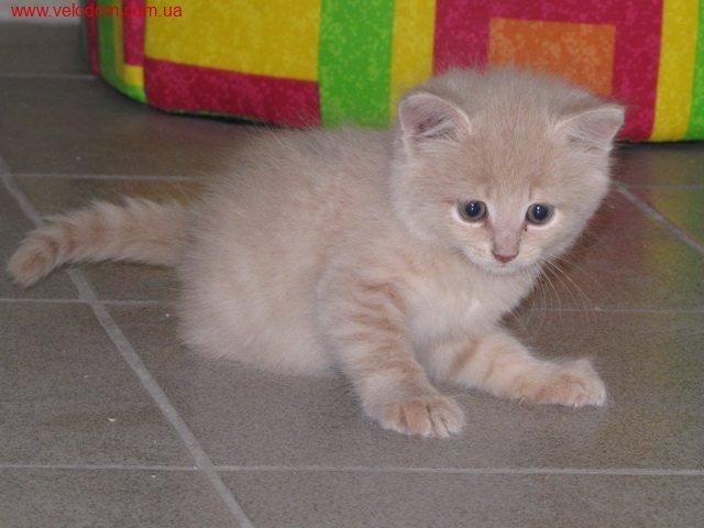 Бежевые котята фото